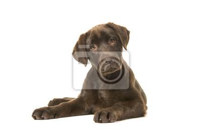 4 mois de chiot labrador retriever brun couché sur le devant, avec ses pattes à gauche inclinant sa tête et regardant la caméra isolée sur fond blanc