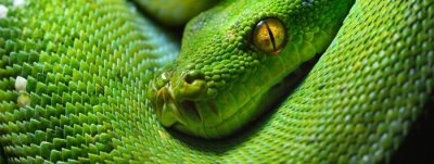 Papiers peints A body of the green tree python Morelia viridis close-up. Portrait art. Snake skin, natural texture, abstract, graphic resources. Environmental conservation, wildlife, zoology, herpetology