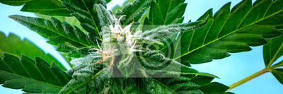 Papiers peints A panorama of a flowering cannabis bud right before harvest, with yellow stigmas and white trichomes on leaves, a close-up macro shot