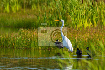 Papiers peints A white heron stands in the pond amid reeds.