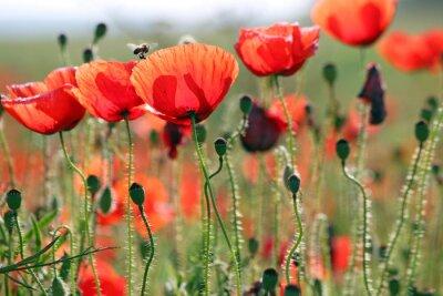 Papiers peints Abeille et coquelicots fleur printemps saison