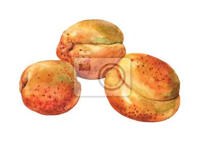 Abricots. Aquarelle dessinée à la main
