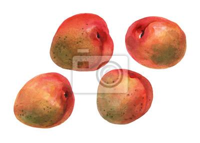 Abricots. Main, tiré, aquarelle, peinture, blanc, fond