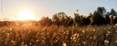 Papiers peints Abstract warm landscape of dry wildflower and grass meadow on warm golden hour sunset or sunrise time. Tranquil autumn fall nature field background. Soft golden hour sunlight panoramic countryside