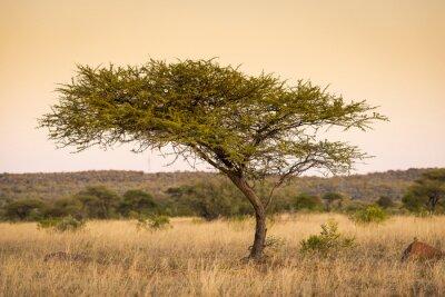 Papiers peints Acacia Tree Afrique