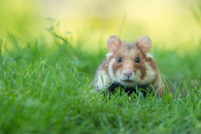 Adorable black bellied hamster in a green grass field