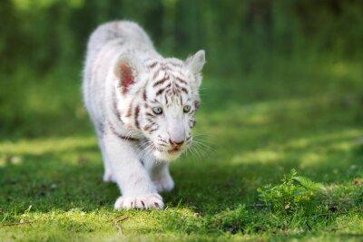 Papiers peints Adorable, blanc, tigre, petit, marche, herbe