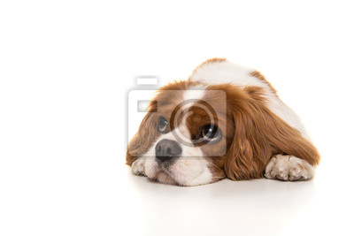 Adorable Cavalier King Charles Spaniel dog lying down on the floor looking away isolated on a white background seen from the front