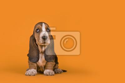 Adorable chiot basset hound chien assis sur un fond orange