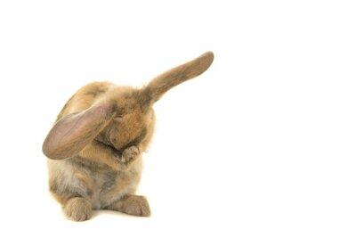 Adorable petit lapin brun vu de face se toilettant et cachant son visage isolé sur fond blanc