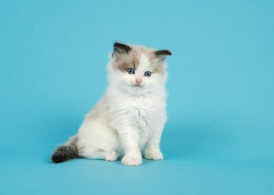 Adorable ragdoll kitten with blue eyes sitting on a blue background