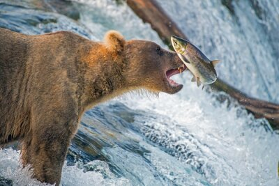 Papiers peints Adult coastal brown bear feeds on salmon as they make their way up and over waterfalls on route to the natal waters.