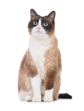 Adult snowshoe thai cat sitting on white background and looking to the camera isolated