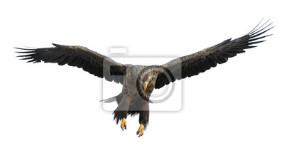 Papiers peints Adult White-tailed eagle in flight. Isolated on White background. Scientific name: Haliaeetus albicilla, also known as the ern, erne, gray eagle, Eurasian sea eagle and white-tailed sea-eagle.