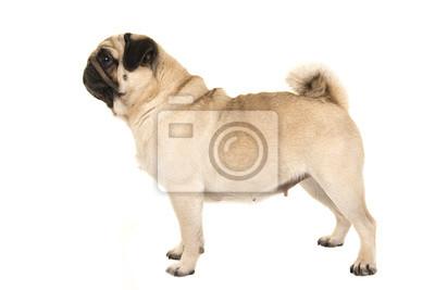 Adulte, pug, debout, vu, côté, isolé, blanc, fond