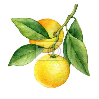 Agrume frais rond cumquat (également appelé Marumi ou Morgani kumquat) sur une branche avec des fruits orange et des feuilles vertes. Aquarelle main dessinée illustration de peinture isolée sur fond b