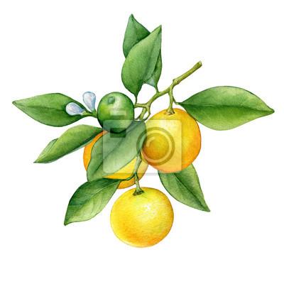 Agrume rond cumquat (également appelé Marumi ou Morgani kumquat) sur une branche avec des fruits orange, des fleurs et des feuilles vertes. Aquarelle main dessinée illustration de peinture isolée sur