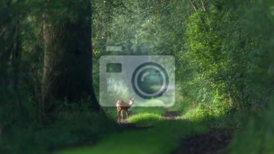 Papiers peints Alert roe deer on a summer forest trail.