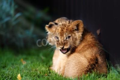 Papiers peints Alerter un petit lionceau avec de la fourrure brune à l'extérieur