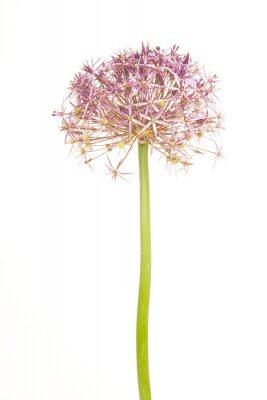 Allium en fleurs ou étoile de Peria isolé sur fond blanc