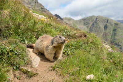 Alpine marmot before its home between the mountains in the European Alps
