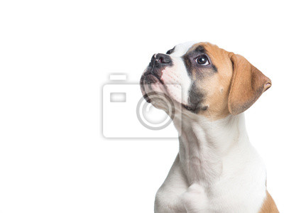 Américain isolé Bull chien chiot regardant loin