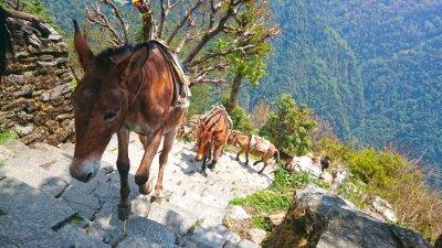 Papiers peints Ânes de montagne au Népal