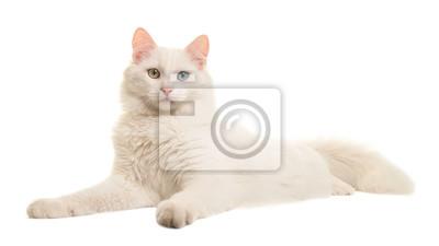 Angora turque angora étrange chat regardé depuis le côté en regardant la caméra isolée sur fond blanc