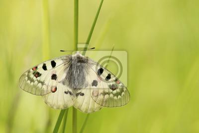 Apollon papillon se reposant dans l'herbe avec des ailes ouvertes