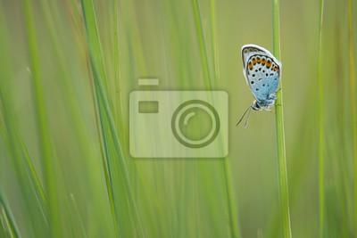 Argent clouté bleu au repos dans l'herbe verte
