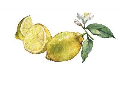 Arrangement avec des citronniers frais entiers et tranchants citron avec des feuilles vertes et des fleurs. Main, tiré, aquarelle, peinture, blanc, fond