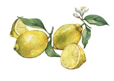 Arrangement avec des citronniers frais entiers et tranchés citron avec des feuilles vertes et des fleurs. Main, tiré, aquarelle, peinture, blanc, fond