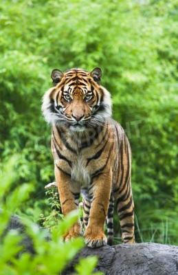 Papiers peints Asiatique ou bengal, tigre, debout, bambou, buissons, fond