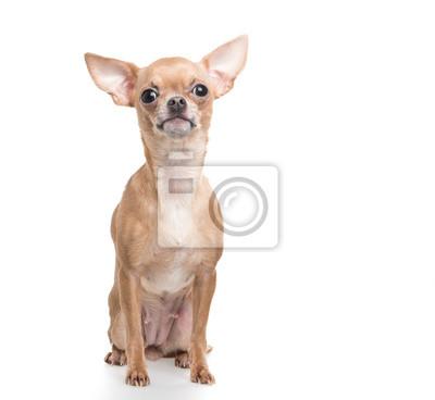 Assis regarder drôle chien chihuahua à un fond blanc