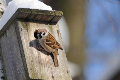 Papiers peints Au début de l'hiver, le moineau étudie les possibilités de nid