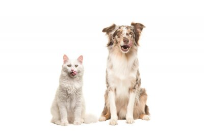 Australian shepherd dog and white longhaired cat looking at the camera licking their lips begging for food isolated on a white background