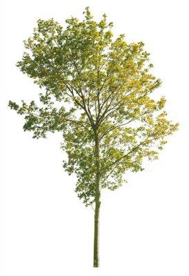 Papiers peints Autumnal Plane Tree, isolated tree on white background