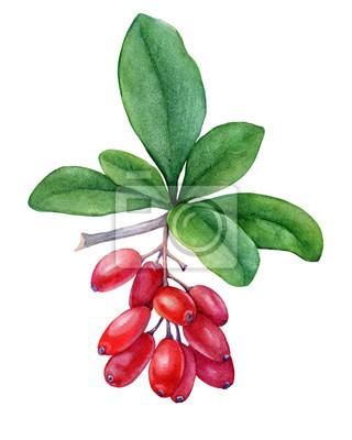 Baies rouges fraîches et feuilles pourpres d'épine-vinette. Aquarelle main dessinée illustration de peinture isolée sur fond blanc.