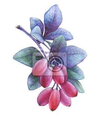Baies rouges fraîches et feuilles pourpres d'épine-vinette japonaise (Berberis thunbergii). Aquarelle main dessinée illustration de peinture isolée sur fond blanc.