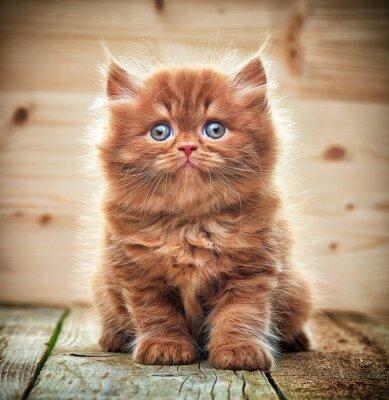 Papiers peints Beau, britannique, long, cheveux, chaton
