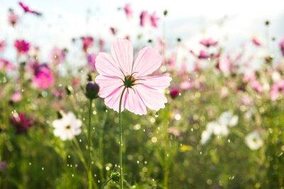 Papiers peints Beau, cosmos, fleur, pluie