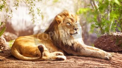 Papiers peints Beau grand lion africain se couche avec des arbres en arrière-plan