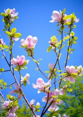 Papiers peints Beau Magnolia Fleurs roses sur fond de ciel bleu. Floral Spring image