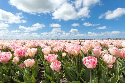 Papiers peints Beau, rose, tulipe, champ, ensoleillé, jour