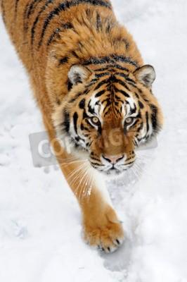 Papiers peints Beau, sauvage, sibérien, tigre, neige