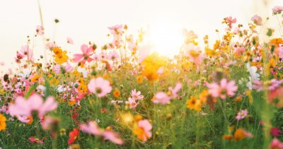 Papiers peints beautiful cosmos flower field
