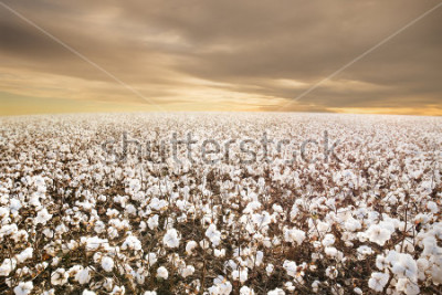 Papiers peints Beautiful Cotton Field in Texas with morning Sunrise