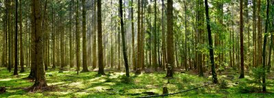 Papiers peints Beautiful forest with moss-covered soil and sunbeams through the trees