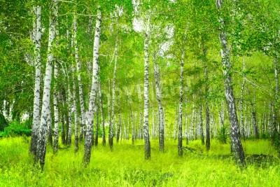 Papiers peints Beautiful landscape - bouleau d'été