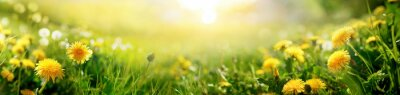 Papiers peints Beautiful summer natural background with yellow dandelion flowers in grass against of dawn morning. Ultra-wide panoramic landscape,  banner format.